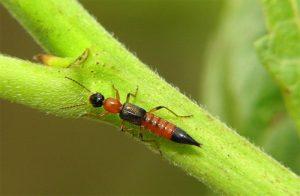 diệt kiến ba khoang