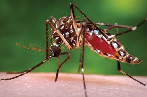 loài muỗi