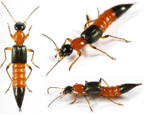 tác hại của kiến ba khoang