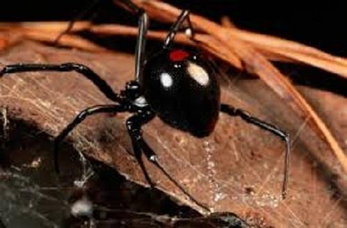 nhện góa phụ đen