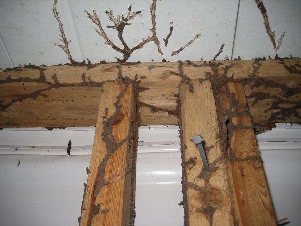 Mối thường xuất hiện tại những nơi có gỗ và độ ẩm cao